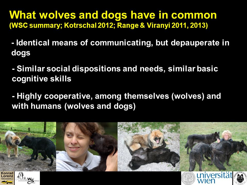 What wolves and dogs have in common (WSC summary; Kotrschal 2012; Range & Viranyi 2011, 2013) - Identical means of communicating, but depauperate in dogs - Similar social dispositions and needs, similar basic cognitive skills - Highly cooperative, among themselves (wolves) and with humans (wolves and dogs)