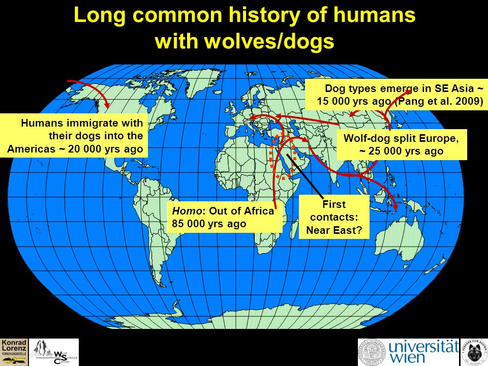 Long common history of humans with wolves/dogs Homo: Out of Africa 85 000 yrs ago Wolf-dog split Europe, ~ 25 000 yrs ago Dog types emerge in SE Asia ~ 15 000 yrs ago (Pang et al.