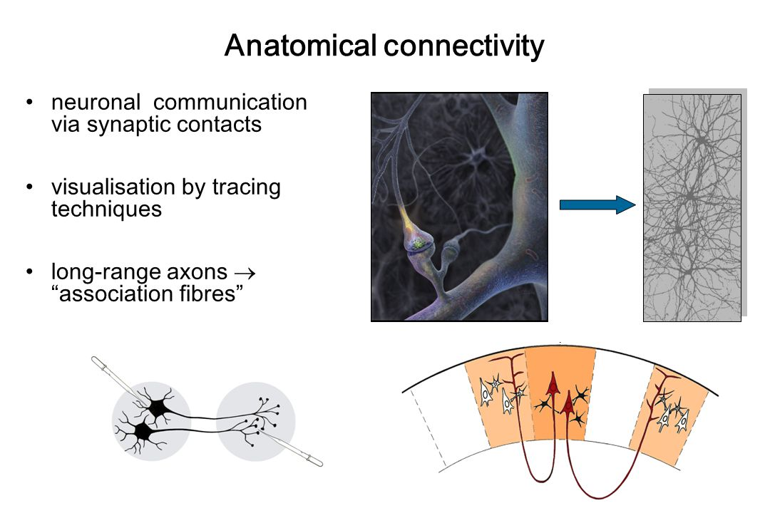Anatomical connectivity neuronal communication via synaptic contacts visualisation by tracing techniques long-range axons  association fibres