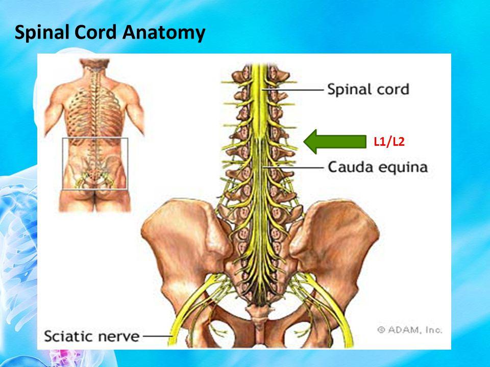 Spinal Cord Anatomy L1/L2
