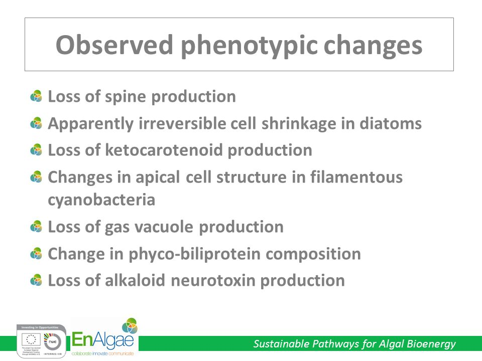 Sustainable Pathways for Algal Bioenergy Observed phenotypic changes Loss of spine production Apparently irreversible cell shrinkage in diatoms Loss o