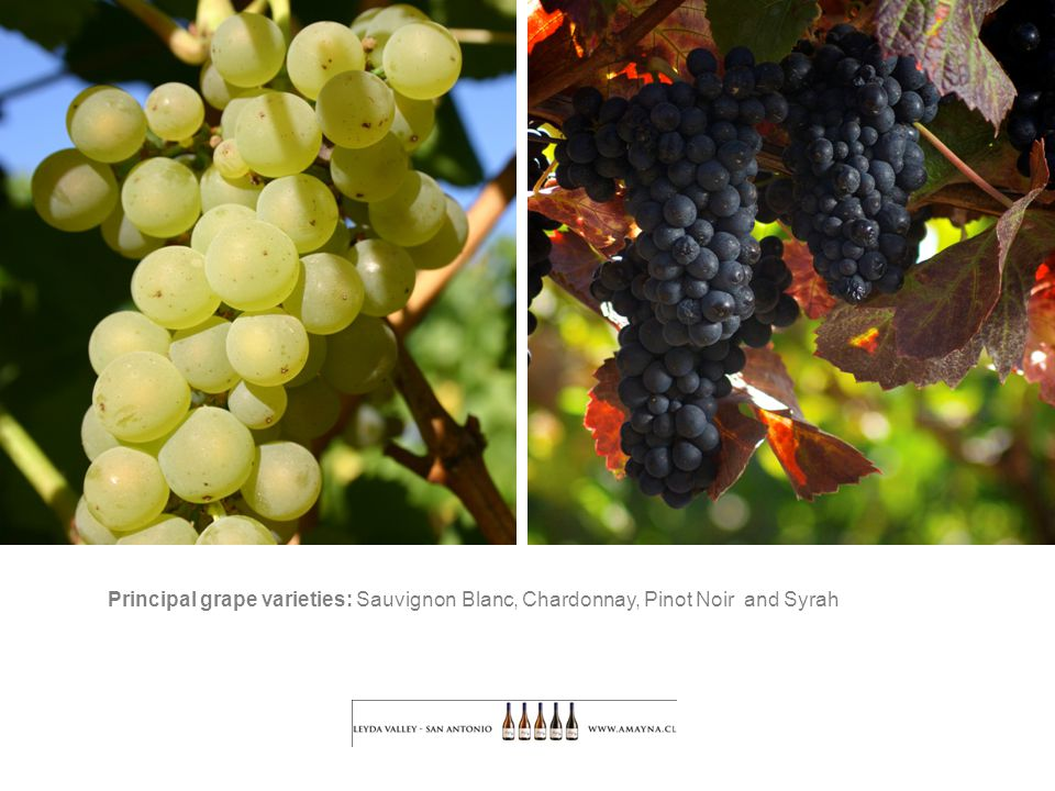 Principal grape varieties: Sauvignon Blanc, Chardonnay, Pinot Noir and Syrah