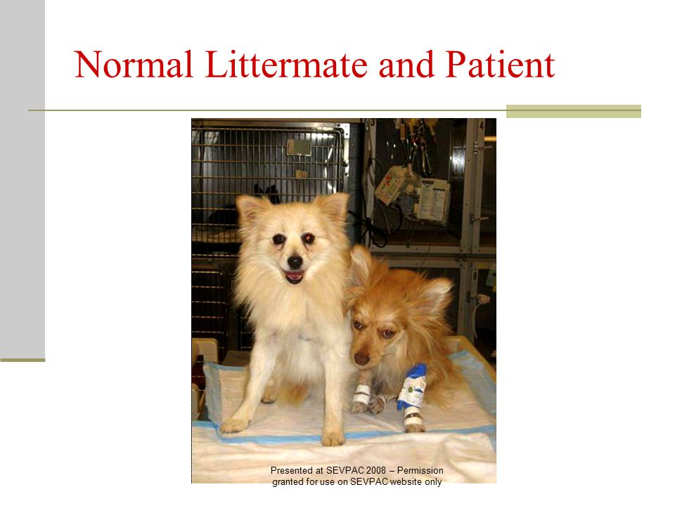Normal Littermate and Patient Presented at SEVPAC 2008 – Permission granted for use on SEVPAC website only
