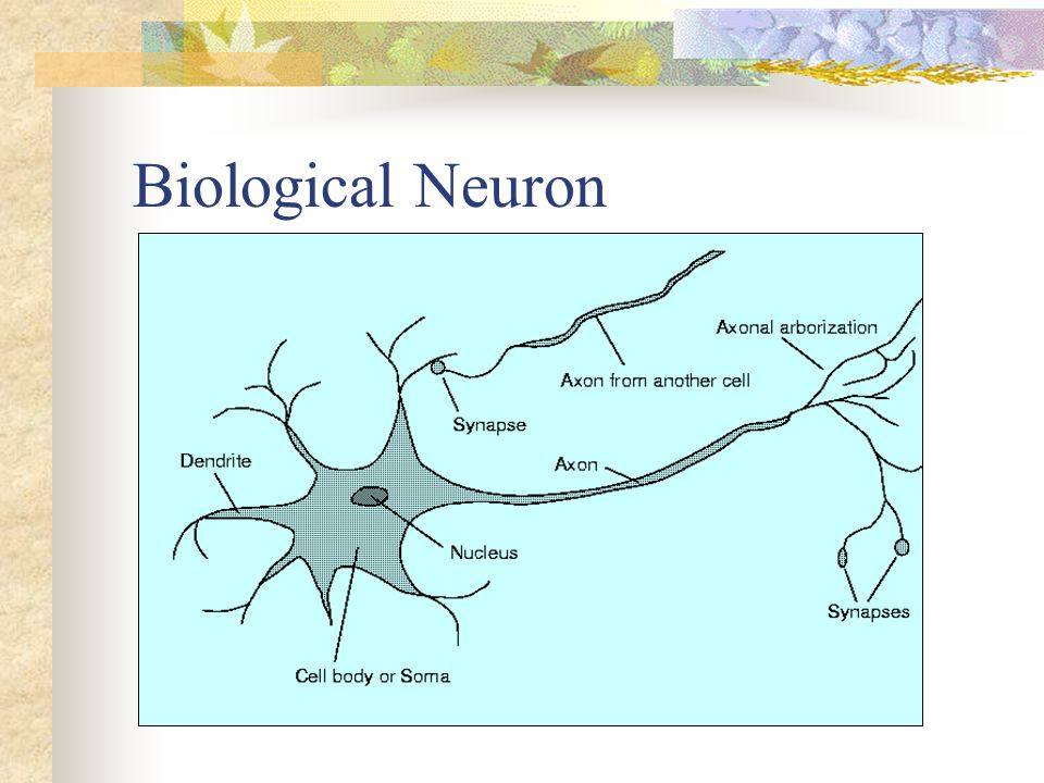 The biological neuron Synapses can be inhibitory or excitatory
