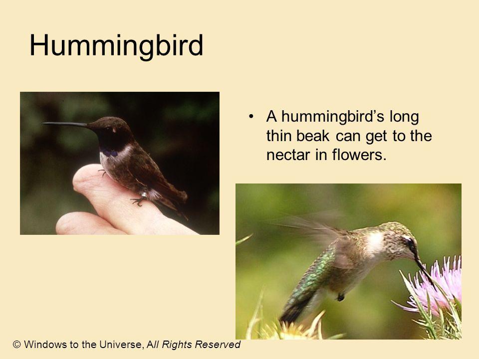 Hummingbird A hummingbird's long thin beak can get to the nectar in flowers.