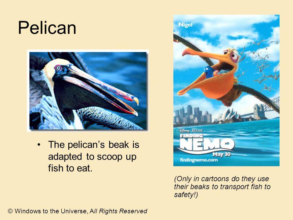 Pelican The pelican's beak is adapted to scoop up fish to eat.