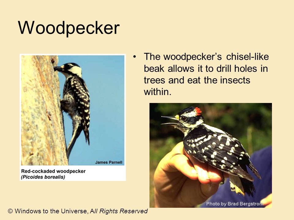 Woodpecker The woodpecker's chisel-like beak allows it to drill holes in trees and eat the insects within.
