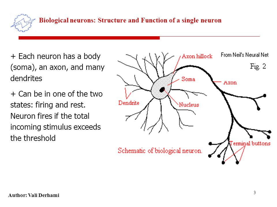 Author: Vali Derhami 3 Biological neurons: Structure and Function of a single neuron + Each neuron has a body (soma), an axon, and many dendrites + Can be in one of the two states: firing and rest.