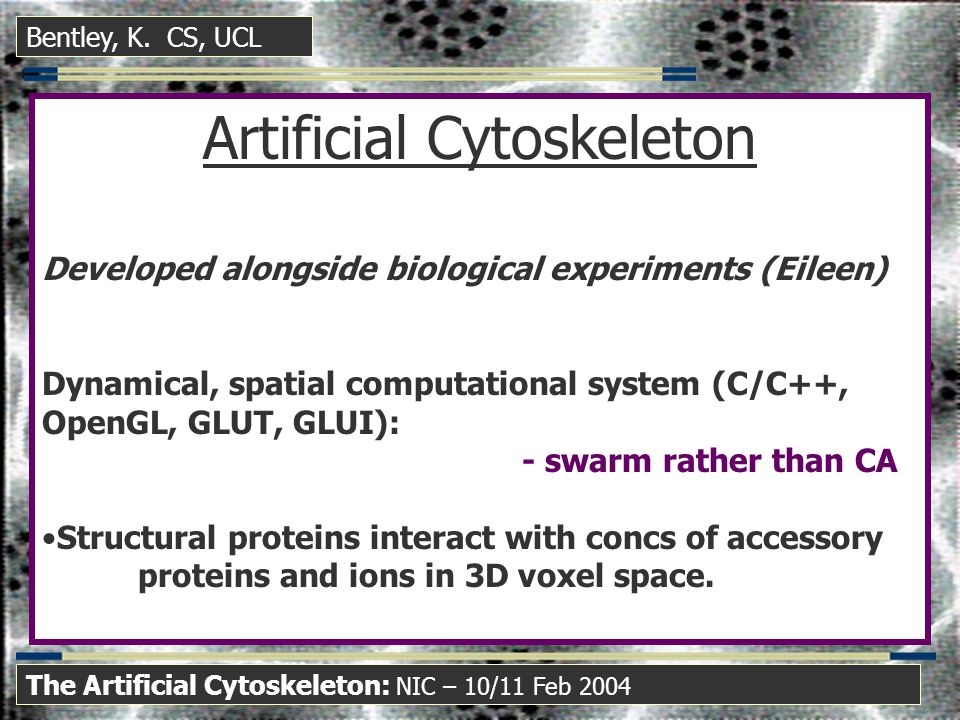 Artificial Cytoskeleton Developed alongside biological experiments (Eileen) Dynamical, spatial computational system (C/C++, OpenGL, GLUT, GLUI): - swarm rather than CA Structural proteins interact with concs of accessory proteins and ions in 3D voxel space.