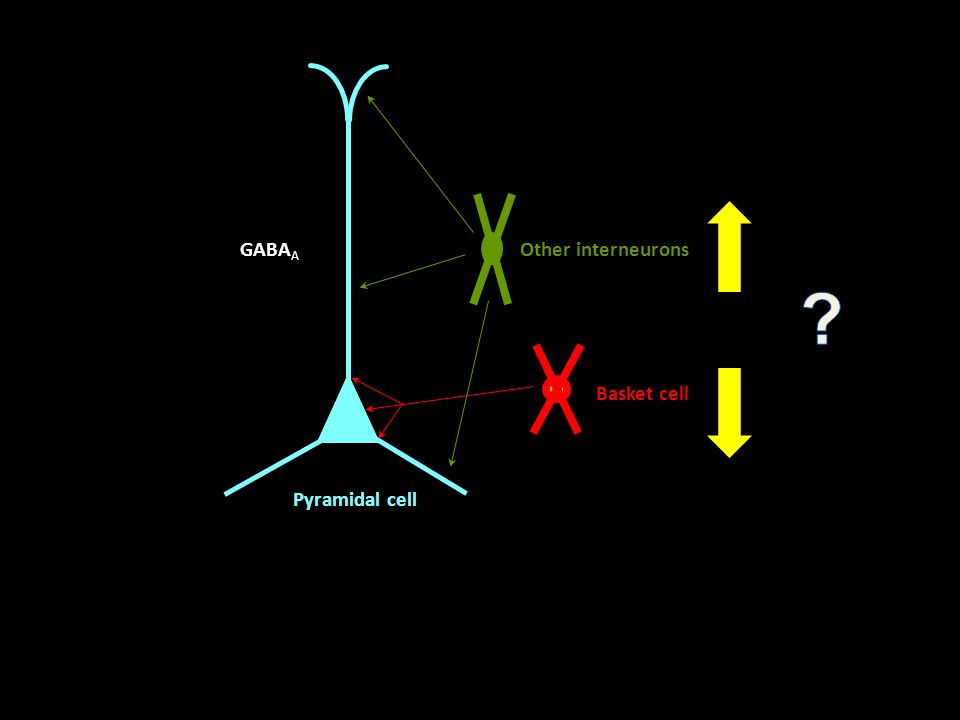 Basket cell Other interneurons Pyramidal cell GABA A
