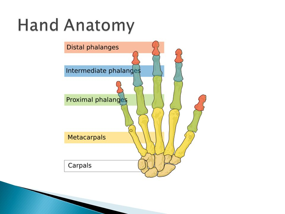  Flexion  Extension  Pronation ◦ Palm faces down  Supination ◦ Palm faces up  Ulnar deviation ◦ Hand moves towards your ulna  Radial deviation ◦ Hand moves towards your radius