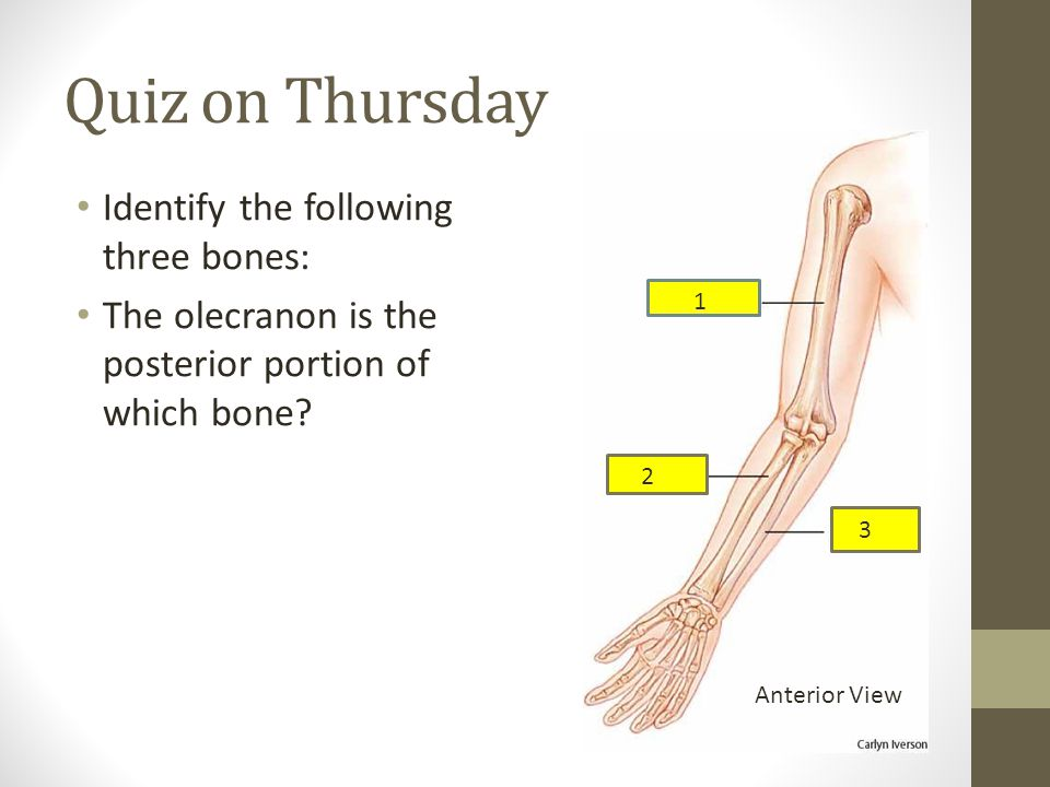 Quiz on Thursday Identify the following three bones: The olecranon is the posterior portion of which bone.