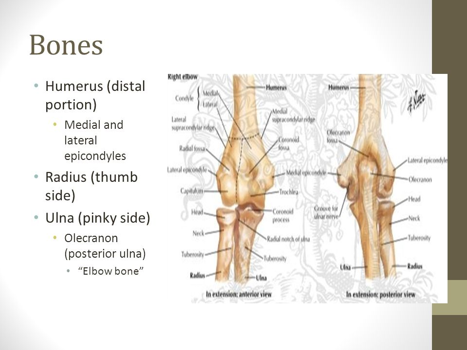 Bones Humerus (distal portion) Medial and lateral epicondyles Radius (thumb side) Ulna (pinky side) Olecranon (posterior ulna) Elbow bone
