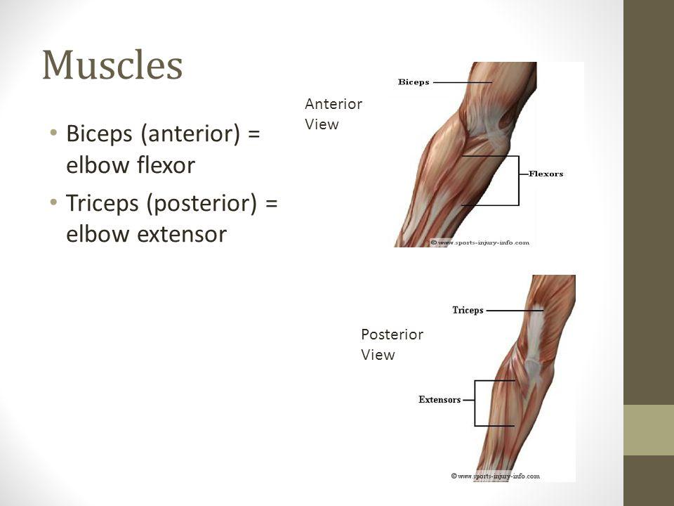 Biceps (anterior) = elbow flexor Triceps (posterior) = elbow extensor Anterior View Posterior View