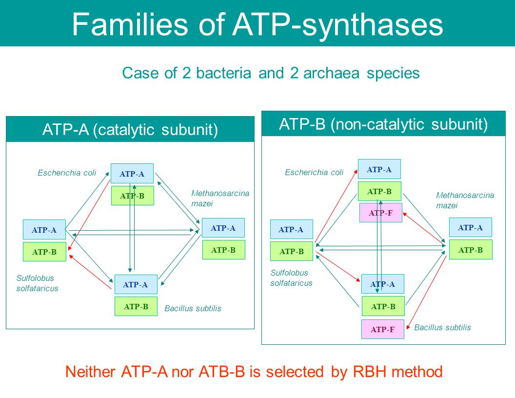 ATP-F Case of 2 bacteria and 2 archaea species ATP-A (catalytic subunit) ATP-B (non-catalytic subunit) Escherichia coli Bacillus subtilis Methanosarcina mazei Sulfolobus solfataricus ATP-A ATP-B ATP-A ATP-B ATP-A ATP-B ATP-A ATP-B Escherichia coli Bacillus subtilis Methanosarcina mazei Sulfolobus solfataricus ATP-A ATP-B ATP-A ATP-B ATP-A ATP-B ATP-A ATP-B ATP-F Neither ATP-A nor ATB-B is selected by RBH method Families of ATP-synthases