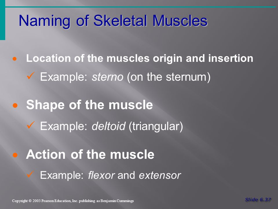 Naming of Skeletal Muscles Copyright © 2003 Pearson Education, Inc.