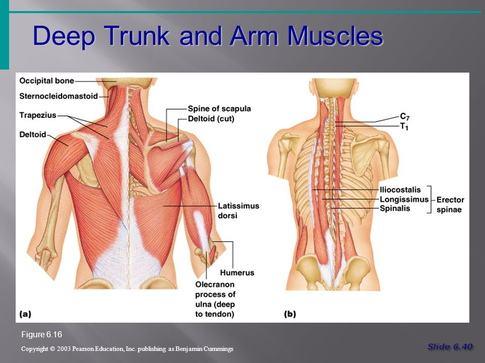Deep Trunk and Arm Muscles Copyright © 2003 Pearson Education, Inc.