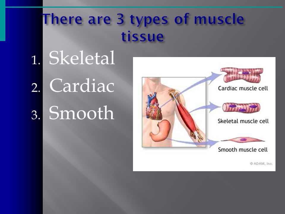 1. Skeletal 2. Cardiac 3. Smooth