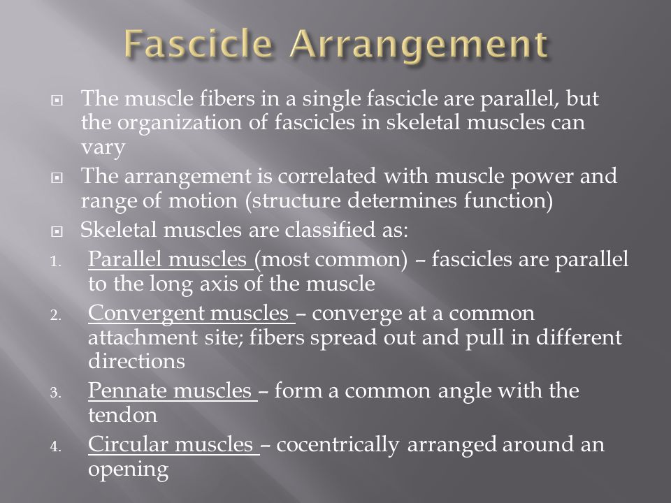  The muscle fibers in a single fascicle are parallel, but the organization of fascicles in skeletal muscles can vary  The arrangement is correlated with muscle power and range of motion (structure determines function)  Skeletal muscles are classified as: 1.