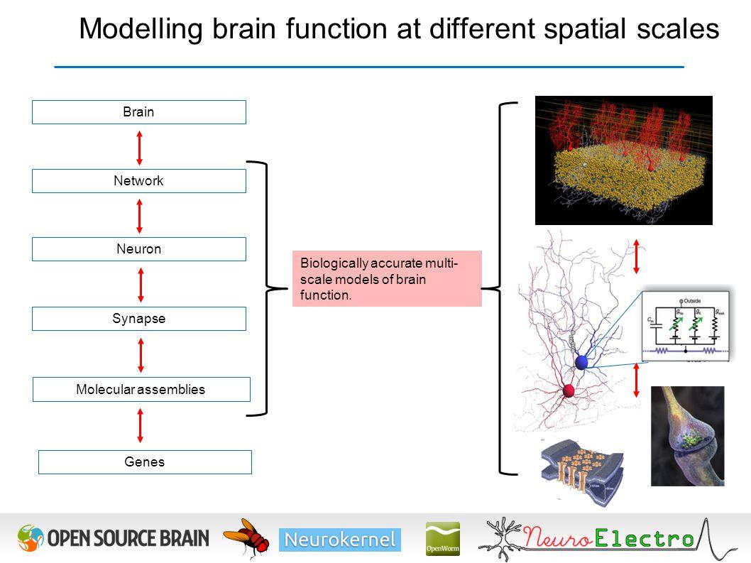 Synapse Network Neuron Molecular assemblies Brain Genes Biologically accurate multi- scale models of brain function. Modelling brain function at diffe