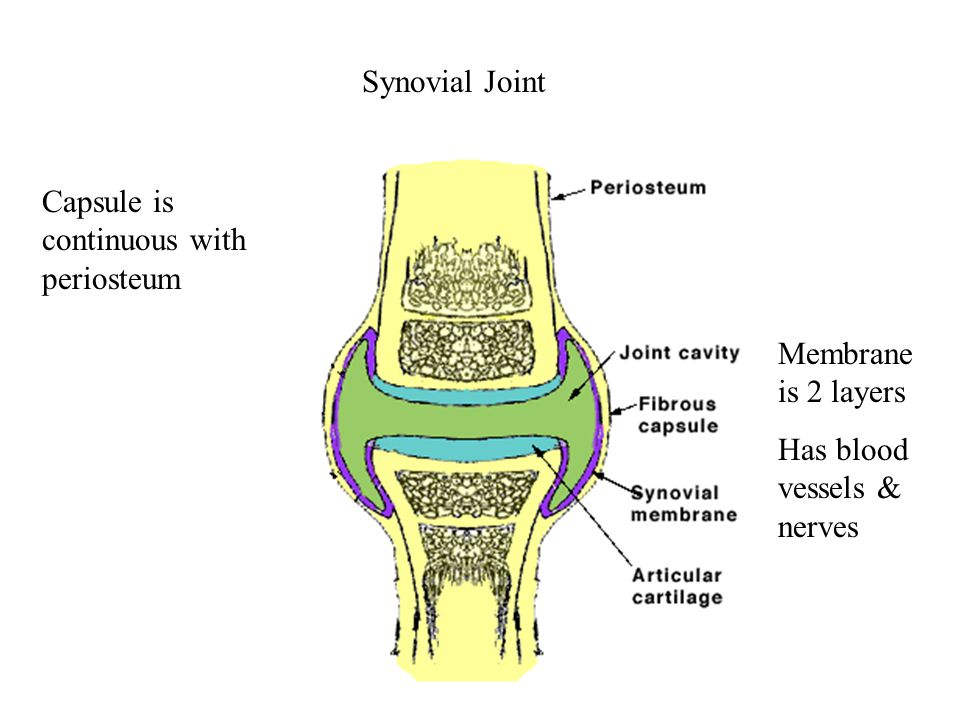 Synovial Fluid Continuously made, circulated – at any time there is 3 ml [ 0.1 oz] in cavity Resembles interstitial fluid, but contains proteoglycans secreted by fibroblasts  making it thick / viscous Functions: lubricate joint distribute nutrients and remove waste products shock absorber defense