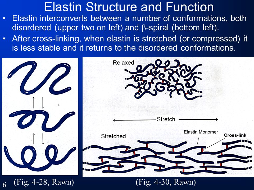 Aggregation and Cross-linking Tropocollagen spontaneously aggregates into elongated staggered arrays, shown in two dimensions at right.
