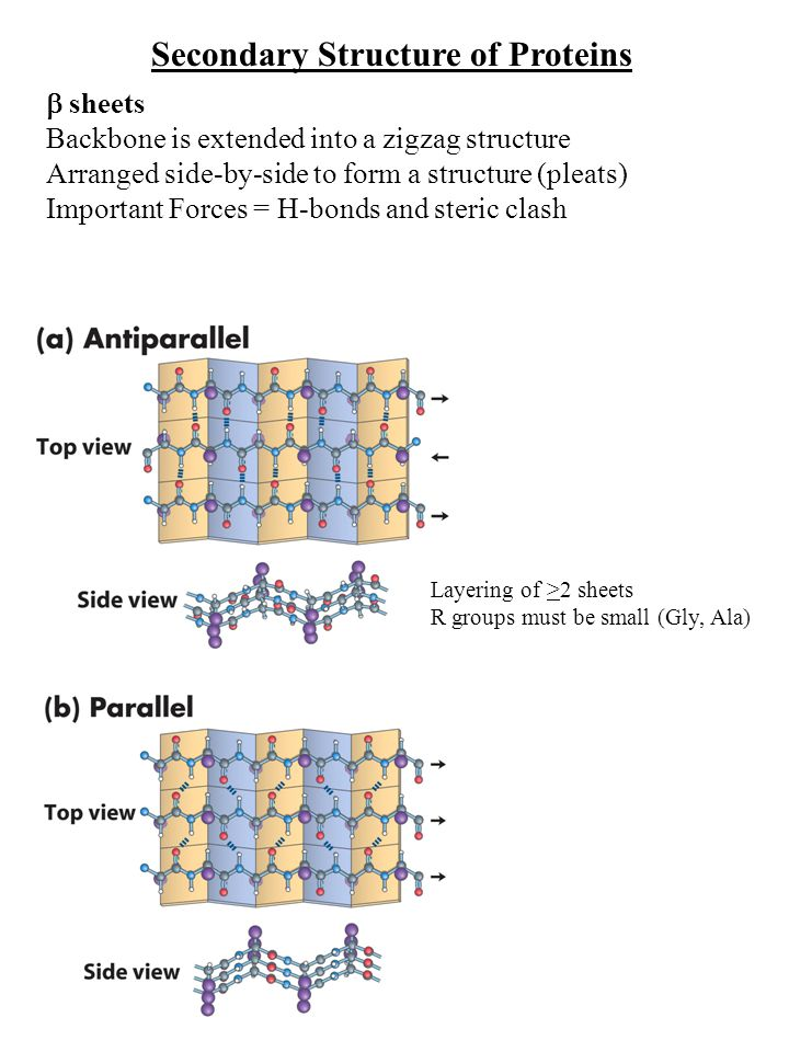 Secondary Structure of Proteins  sheets Backbone is extended into a zigzag structure Arranged side-by-side to form a structure (pleats) Important Forces = H-bonds and steric clash Layering of >2 sheets R groups must be small (Gly, Ala)