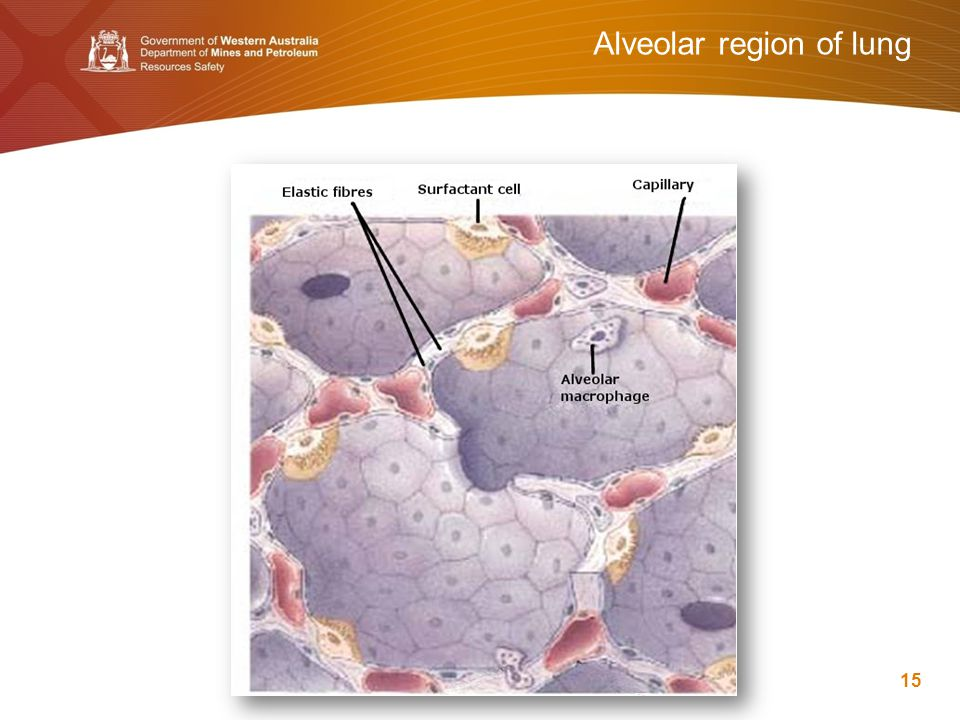 Alveolar region of lung 15