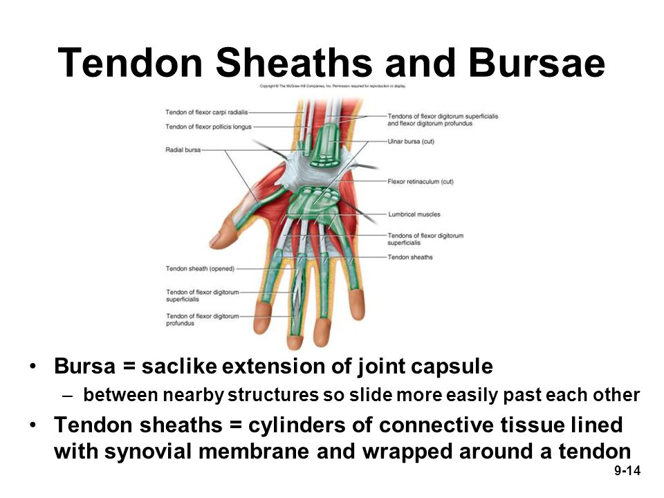 9-14 Tendon Sheaths and Bursae Bursa = saclike extension of joint capsule –between nearby structures so slide more easily past each other Tendon sheaths = cylinders of connective tissue lined with synovial membrane and wrapped around a tendon
