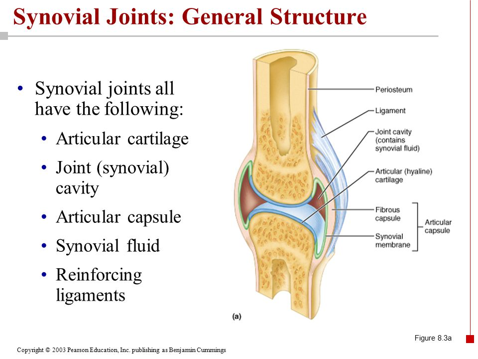 Copyright © 2003 Pearson Education, Inc. publishing as Benjamin Cummings Synovial Joints: General Structure Synovial joints all have the following: Ar