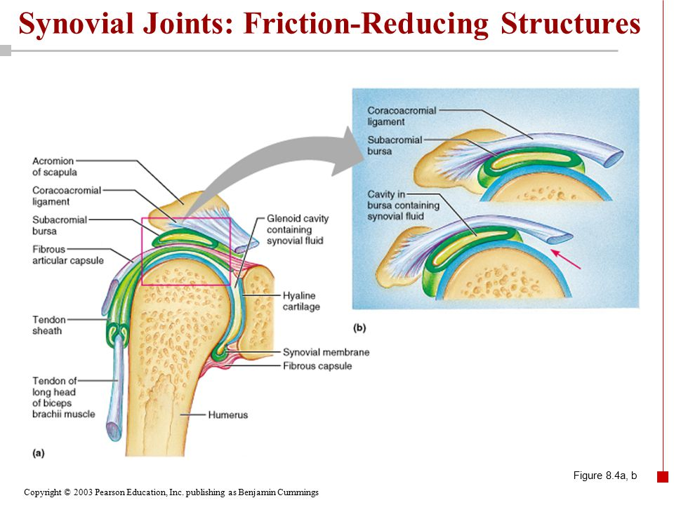 Copyright © 2003 Pearson Education, Inc. publishing as Benjamin Cummings Synovial Joints: Friction-Reducing Structures Figure 8.4a, b