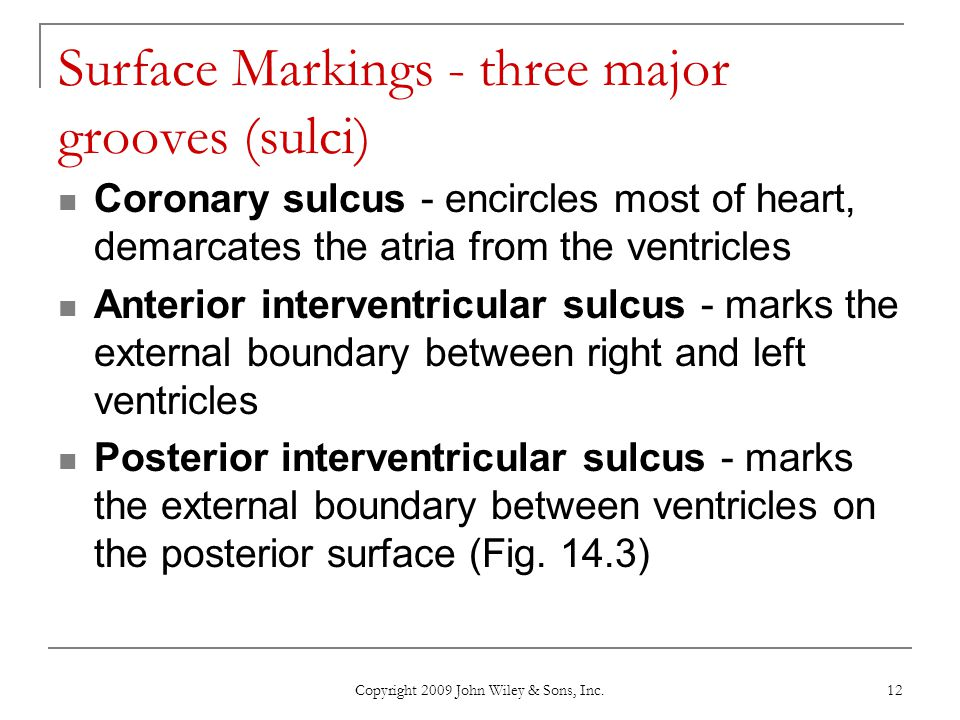 Copyright 2009 John Wiley & Sons, Inc. 12 Surface Markings - three major grooves (sulci) Coronary sulcus - encircles most of heart, demarcates the atr