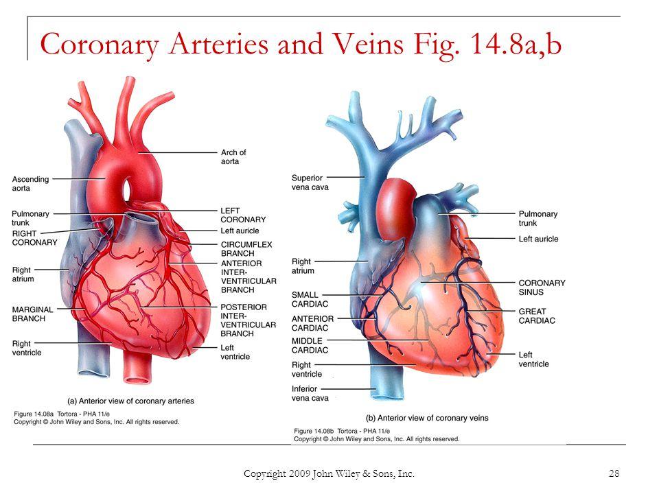 Copyright 2009 John Wiley & Sons, Inc. 28 Coronary Arteries and Veins Fig. 14.8a,b