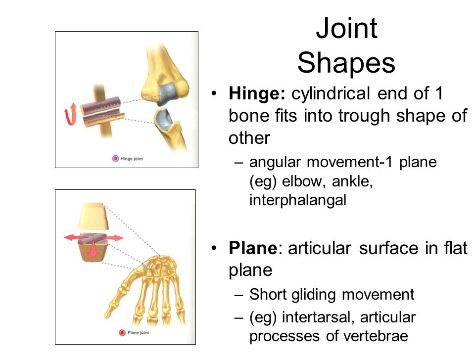 Joint Shapes Hinge: cylindrical end of 1 bone fits into trough shape of other –angular movement-1 plane (eg) elbow, ankle, interphalangal Plane: articular surface in flat plane –Short gliding movement –(eg) intertarsal, articular processes of vertebrae