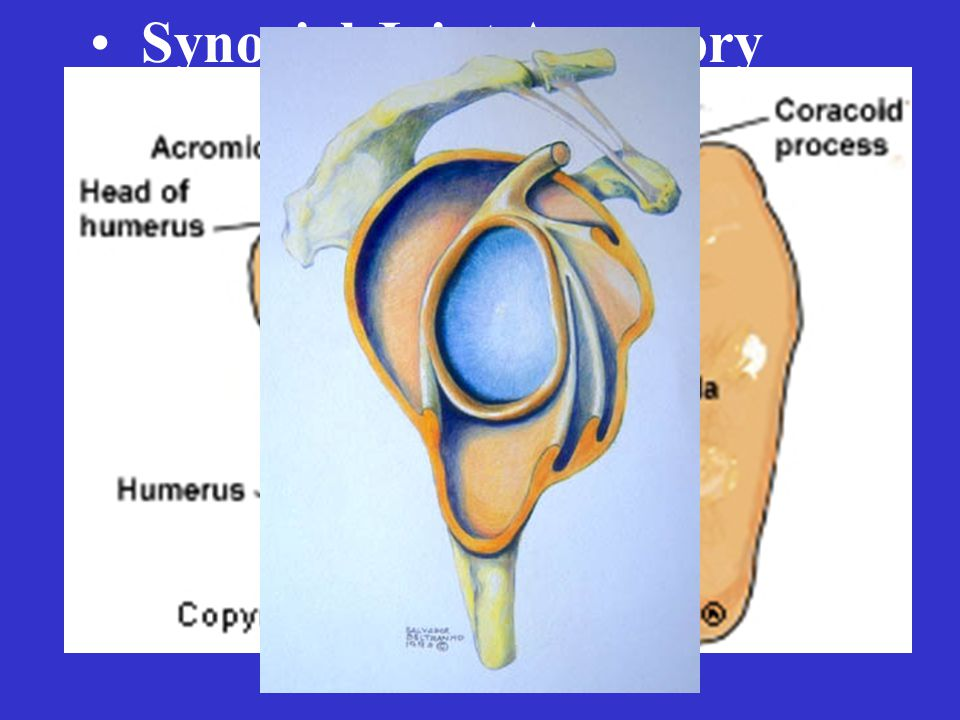 Synovial Joint Accessory Structures – Menisci – Fat pads – Ligaments and Tendons – Labrum