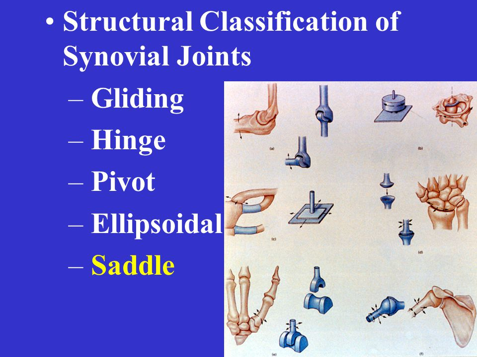 Structural Classification of Synovial Joints – Gliding – Hinge – Pivot – Ellipsoidal – Saddle