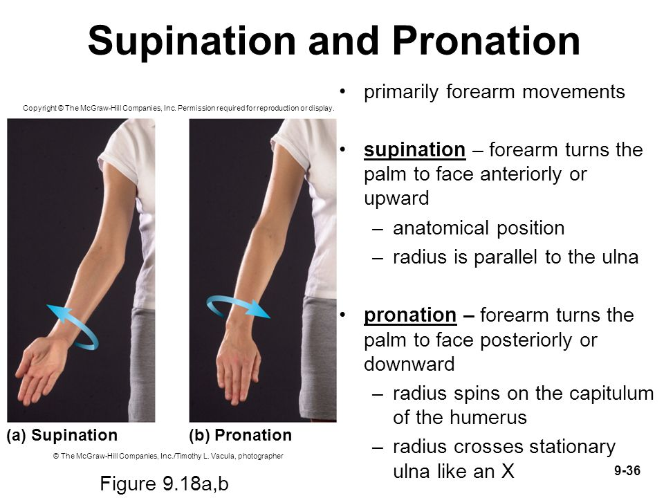 9-36 Supination and Pronation primarily forearm movements supination – forearm turns the palm to face anteriorly or upward –anatomical position –radiu