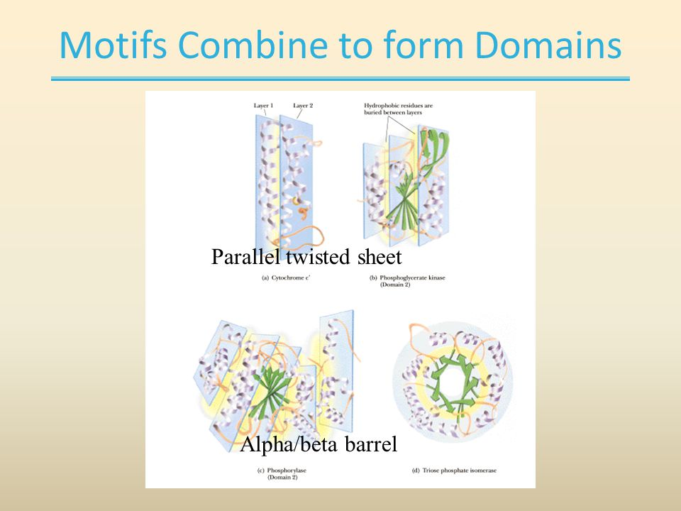 Motifs Combine to form Domains Alpha/beta barrel Parallel twisted sheet