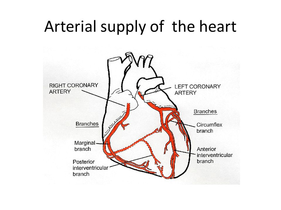 Arterial supply of the heart