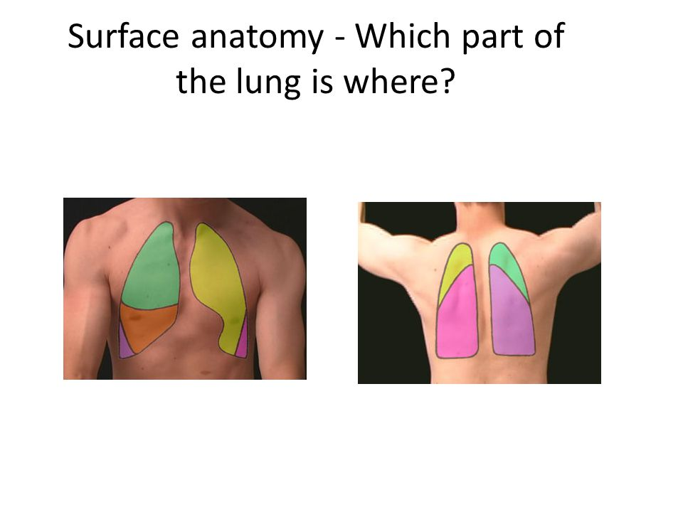 Surface anatomy - Which part of the lung is where