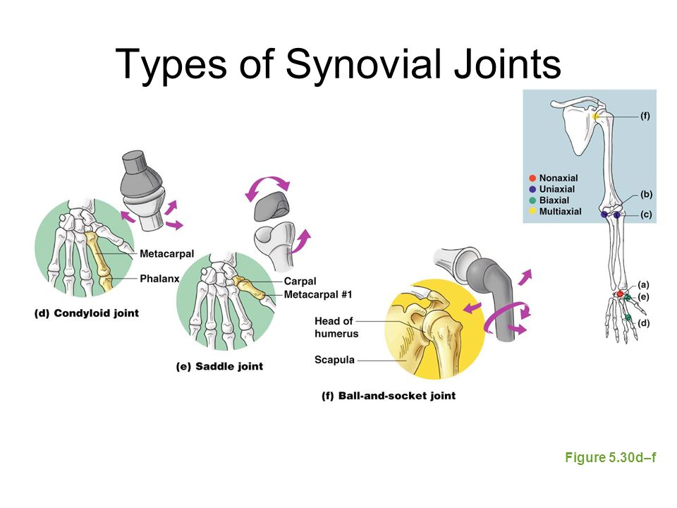 Types of Synovial Joints Figure 5.30d–f