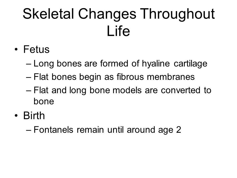Skeletal Changes Throughout Life Fetus –Long bones are formed of hyaline cartilage –Flat bones begin as fibrous membranes –Flat and long bone models a