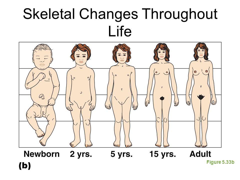 Skeletal Changes Throughout Life Figure 5.33b