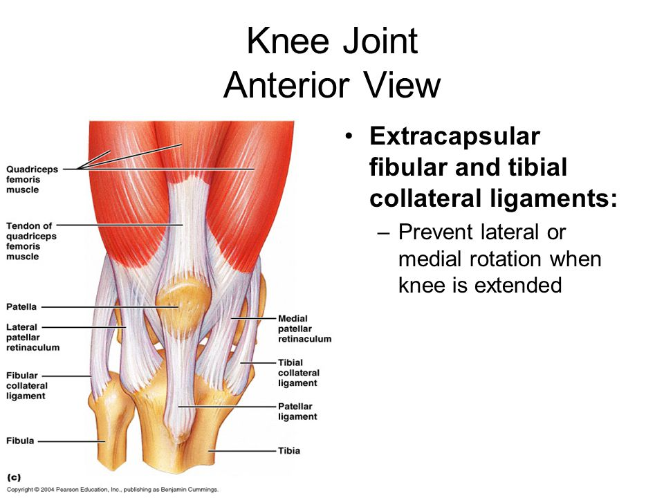 Knee Joint Anterior View Extracapsular fibular and tibial collateral ligaments: –Prevent lateral or medial rotation when knee is extended