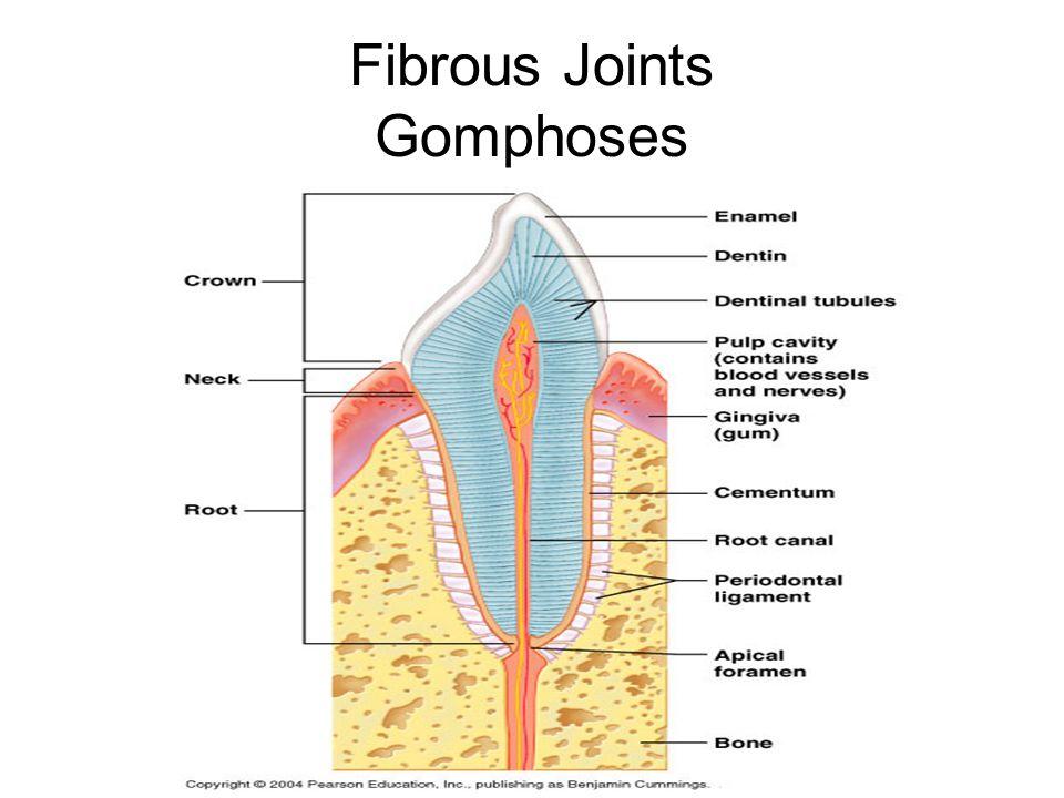 Fibrous Joints Gomphoses