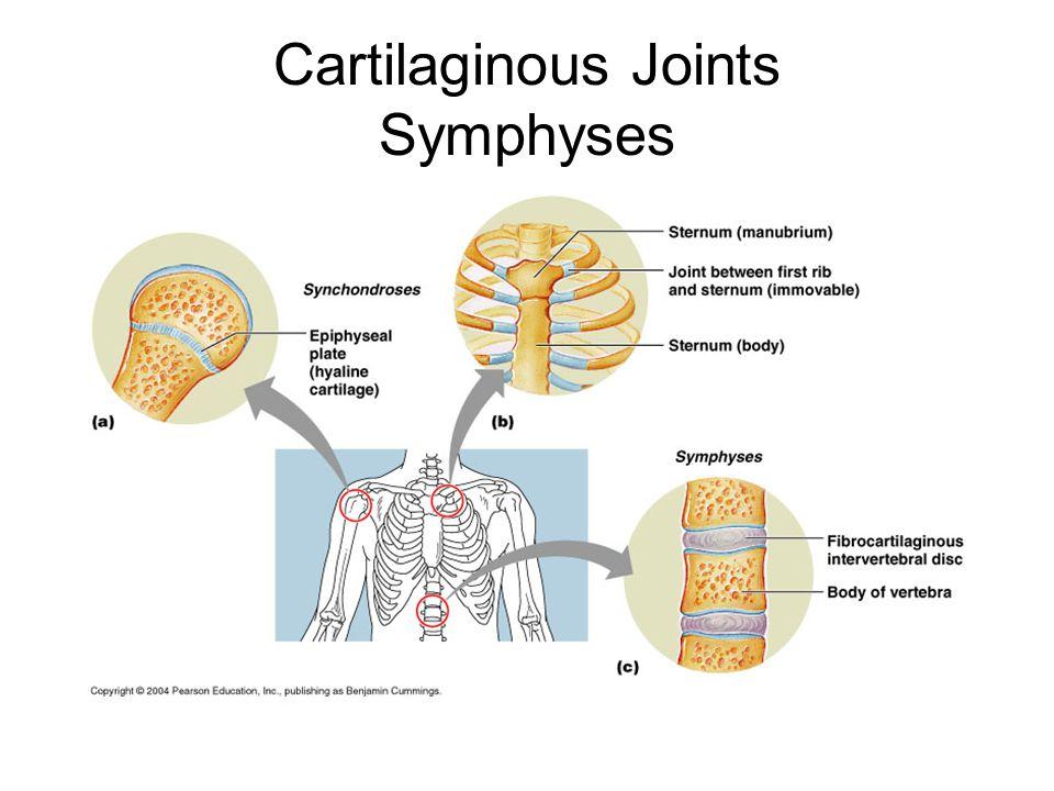Cartilaginous Joints Symphyses