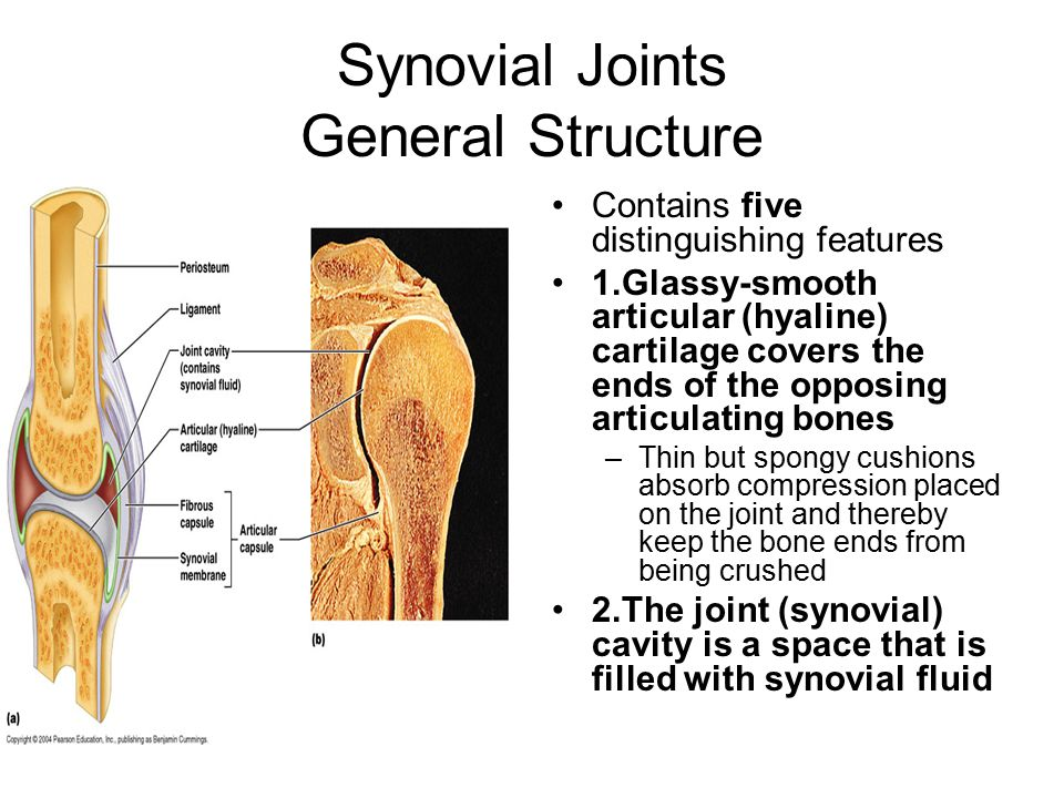 Synovial Joints General Structure Contains five distinguishing features 1.Glassy-smooth articular (hyaline) cartilage covers the ends of the opposing articulating bones –Thin but spongy cushions absorb compression placed on the joint and thereby keep the bone ends from being crushed 2.The joint (synovial) cavity is a space that is filled with synovial fluid