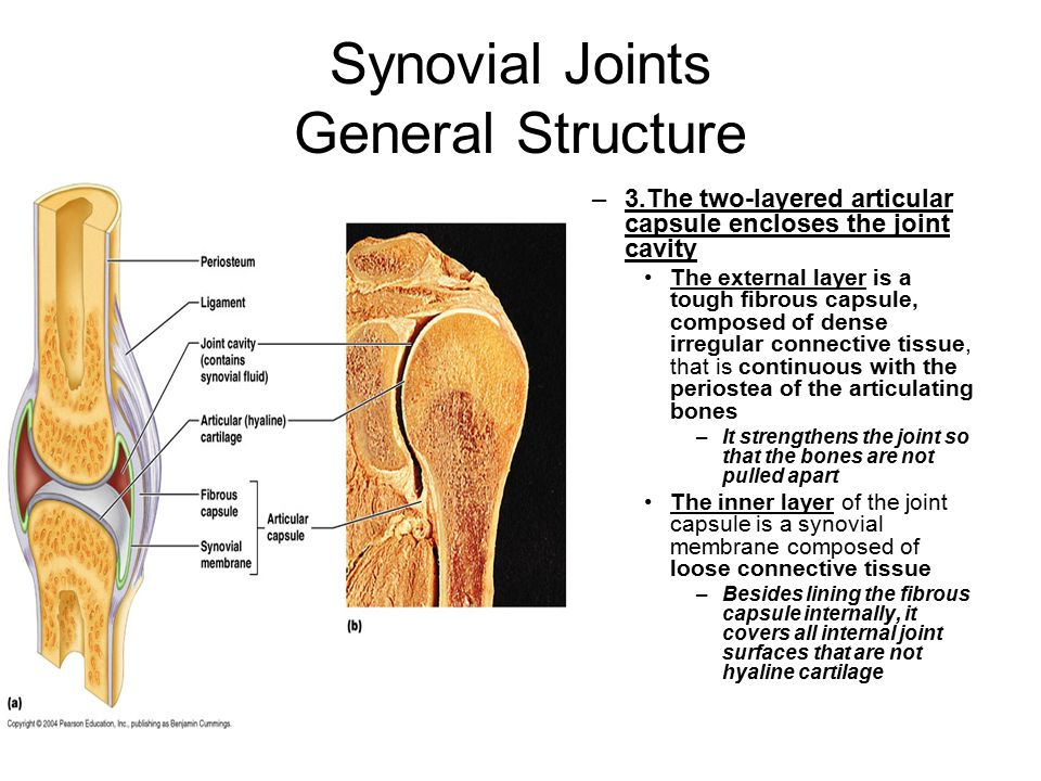 Synovial Joints General Structure –3.The two-layered articular capsule encloses the joint cavity The external layer is a tough fibrous capsule, composed of dense irregular connective tissue, that is continuous with the periostea of the articulating bones –It strengthens the joint so that the bones are not pulled apart The inner layer of the joint capsule is a synovial membrane composed of loose connective tissue –Besides lining the fibrous capsule internally, it covers all internal joint surfaces that are not hyaline cartilage