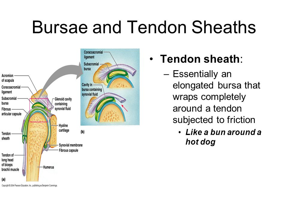 Bursae and Tendon Sheaths Tendon sheath: –Essentially an elongated bursa that wraps completely around a tendon subjected to friction Like a bun around a hot dog