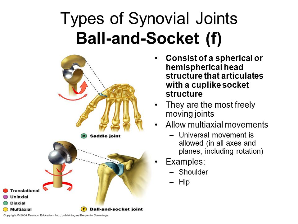 Types of Synovial Joints Ball-and-Socket (f) Consist of a spherical or hemispherical head structure that articulates with a cuplike socket structure They are the most freely moving joints Allow multiaxial movements –Universal movement is allowed (in all axes and planes, including rotation) Examples: –Shoulder –Hip